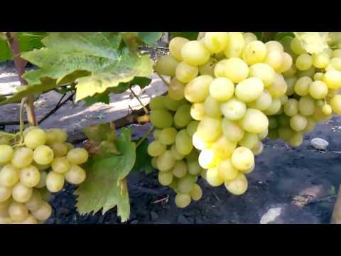 Виноград Новый Подарок Запорожью: описание сорта и фото, его