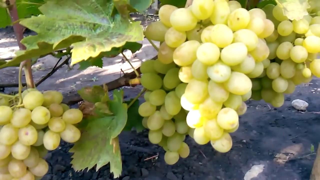 Виноград сорт новый подарок 28