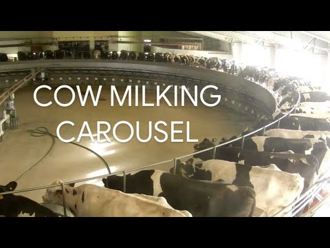 Modern Dairy Farm High Tech Milking Cows on Circular Carousel - How to