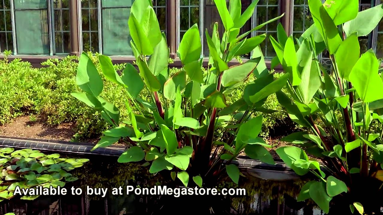 Thalia shallow water plant ponds and water garden flowers for Outdoor aquatic plants