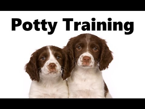 Training Spaniel Puppies a Springer Spaniel Puppy