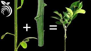 Kỹ thuật ghép cây bưởi – Cách ghép cây bưởi mới và hữu dụng