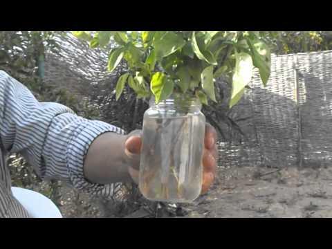 اسهل واسرع طريقة لتعقيل النباتات thumbnail