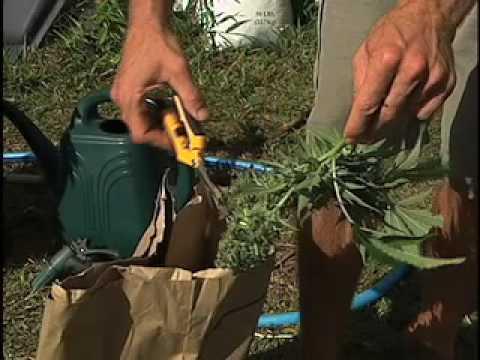Medical Marijuana Cultivation 101: part 2 of 2