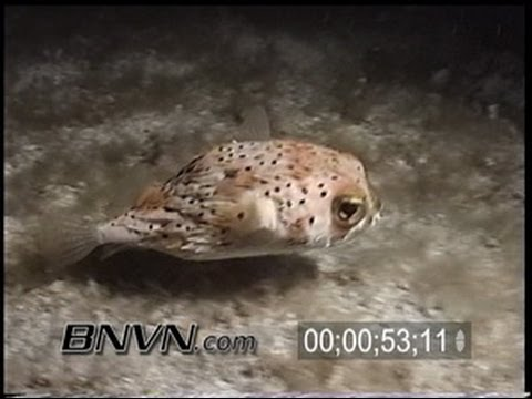 4/20/2002 Porcupine fish at night dive footage