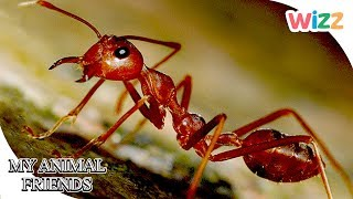 My Animal Friends -The Different Types of Ants | Bugs for Kids | Wizz | TV Shows for Kids