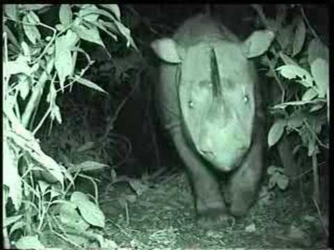 Borneo (Sumatran) Rhino caught first time on Camera at Tabin Wildlife Reserve, Sabah.