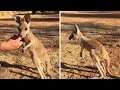 Adorable Baby Kangaroo Learns To Hop MP3
