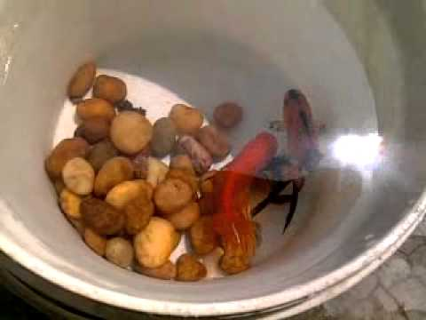 gold fish breeding and laying eggs in my tank - YouTube