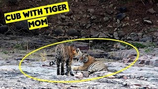Tiger T8 Ladli with Cub : Ranthambore National Park