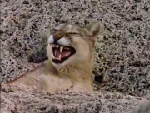 Puma. El león de los Andes 4 de 6