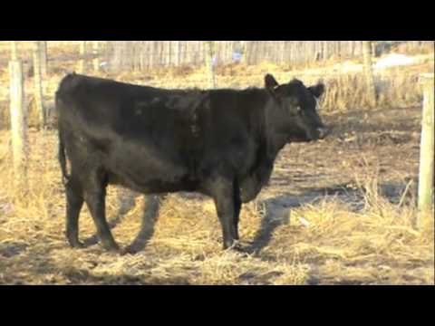 Krauth Angus Farm Big Rok Ole 450 (Daughters)