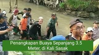 Virall!!!  Penangkapan Buaya Sepanjang 3.5 Meter Di Kali Sasak, Dukuh Jogobondo, Desa Palur - Solo