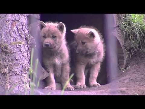 シンリンオオカミ三つ子の赤ちゃん(旭山動物園)~Eastern timber wolf babies