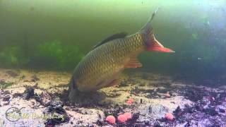 Complete Big Carp Drill underwater and above (HD)
