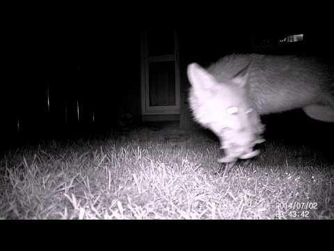 Mr. Fox visits our garden for a chicken carcass 02/07/2014