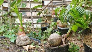 Macam-macam Jenis Bonsai Kelapa yang sudah Jadi|Various types of coconut bonsai