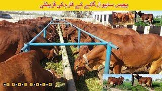 50 | Cow Dairy Farming in India/Pakistan | پچیس ساہیوال گائے کے فارم کی فزیبلٹی