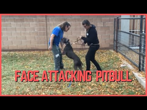 Face Attacking American Pitbull Terrier Rehabilitation