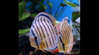Ebubekir ATAR - Turkey Discus Aquarium - Video 2