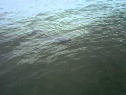 manatee with tail Video