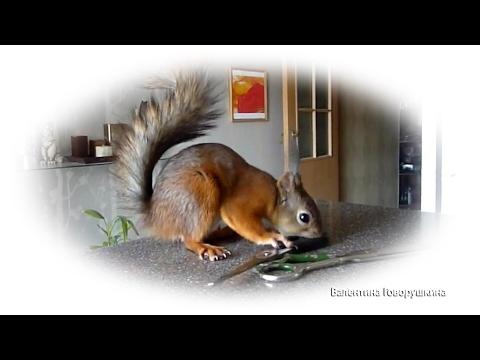 Tame squirrel Noble. Белка Ноби Крюгер