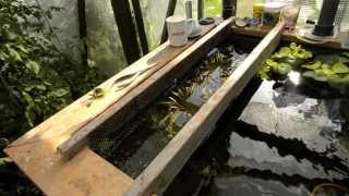 Play closing the greenhouse guppy pond for the winter part l for Koi fry pool