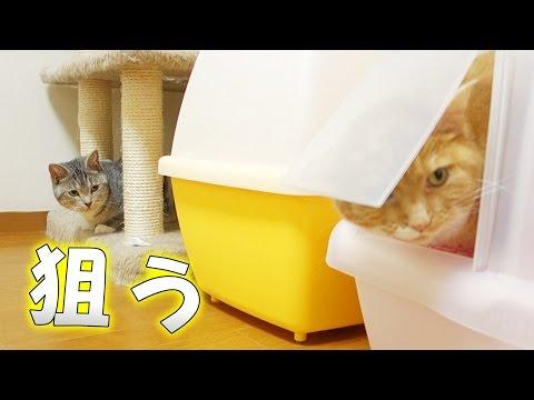 【猫 おもしろ】トイレに立てこもる猫と狙う猫