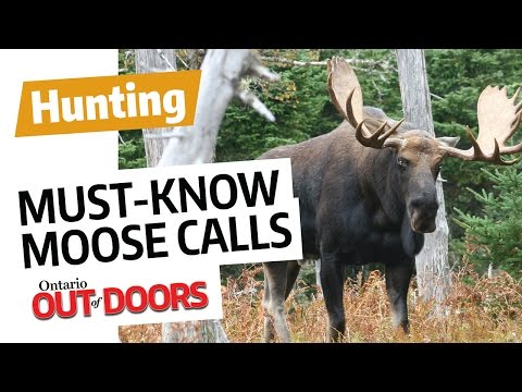 Must-Know Moose Calls