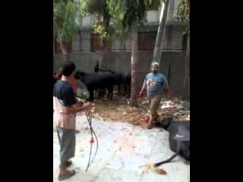 Buffalo Qurbani Video video