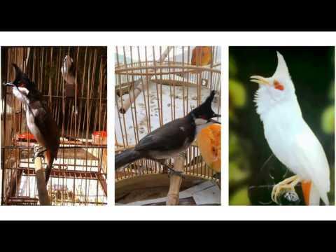 Chim Chào Mào Hot Hay 2014: Tuyển Tập video
