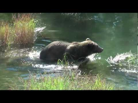 Brooks Camp in Katmai National Park Alaska Overview and Brown Bears