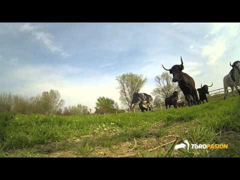 Toropasión - Vacas para el Concurso Nacional de Anillas de Castellón 2014