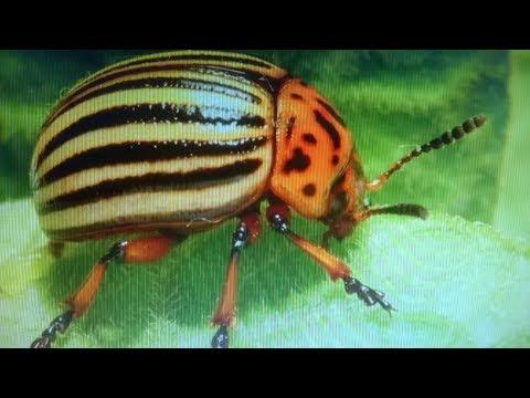 Чем опрыскивать картошку от колорадского жука