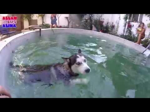 Видео Архив - Хьюго любит плавать | Хаски ныряет в бассейн