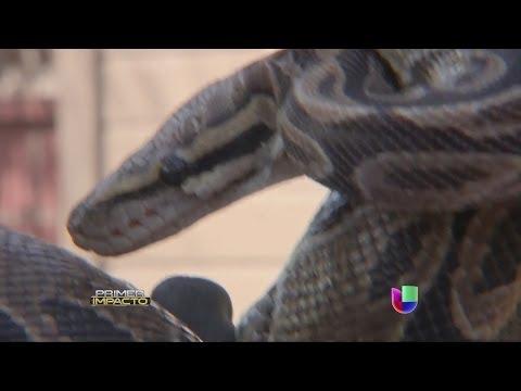Un hombre tenía 300 serpientes y un nido de ratas en su casa en Los Ángeles