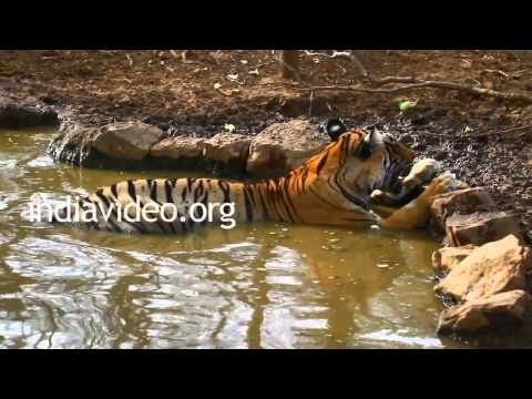 Tiger at Ranthambore National Park, Rajasthan