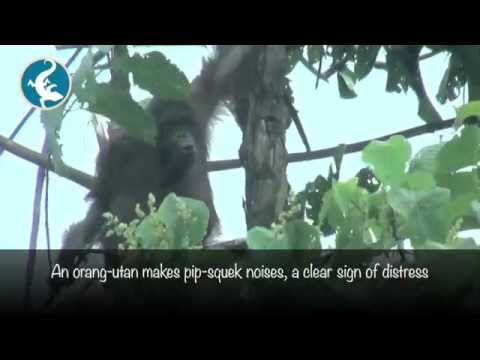 Distressed orang-utan moving between forest and oil palm plantation