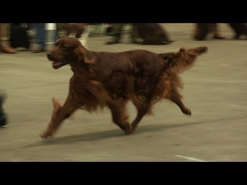 Birmingham National Championship Dog Show 2013 - Gundog group