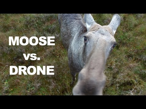 The hell is this? Moose meets a drone in Norway