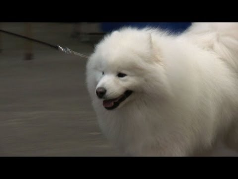 Birmingham National Championship Dog Show 2013 - Pastoral group