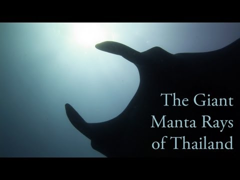 The Giant Manta Rays of Thailand