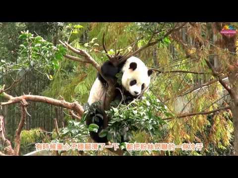 台灣-臺北市立動物園-EP 154 粉絲團現場「驚訝」目擊 「圓仔」狠拆茄冬樹覓食