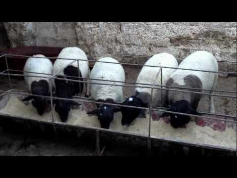 Borregos dorper - alimento preparado