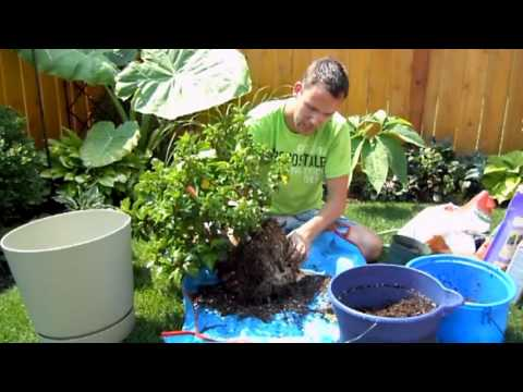 Repotting Tropical Hibiscus
