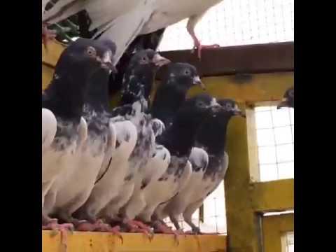 احمد الناجم / الكويت حمام زاجل al-najem loft racing pigeons kuwait