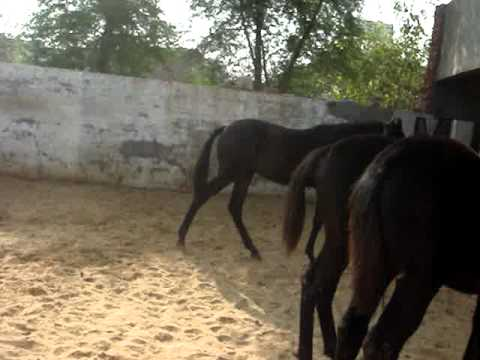 ( marwari horse )  sidhu & curry farm . ( 9876991447 )