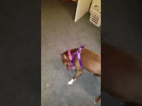 Pitbull leash training Part 1......maybe!!!