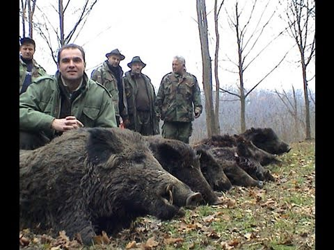 Wild Boar Hunting - Serbia - Vojvodina -  Lov Divlje Svinje - Srbija video