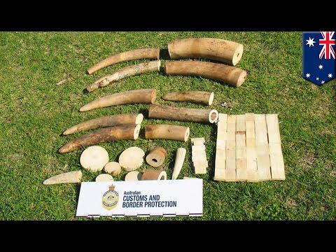 Ivory from Malawi seized by Australia Customs and Border Protection Service